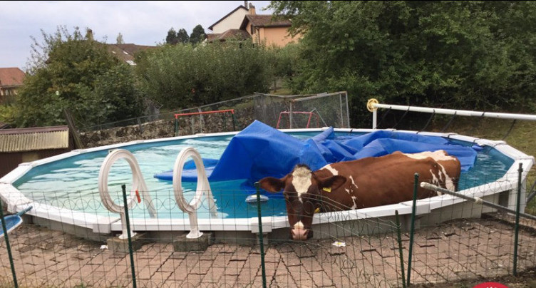 Insolite : les vaches aussi profitent de la fin de l'été