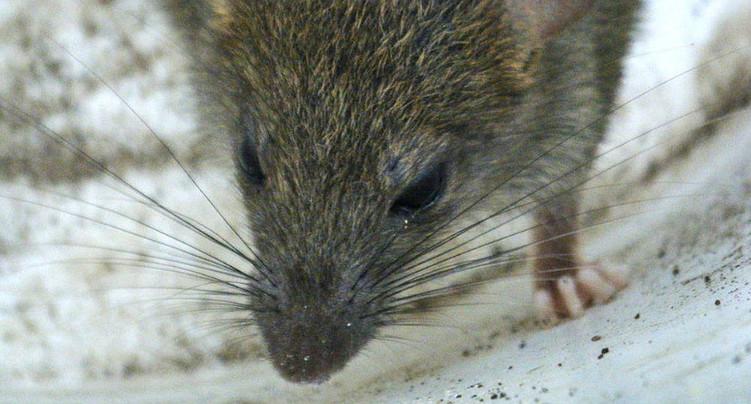 Des rats provoquent une panne de courant