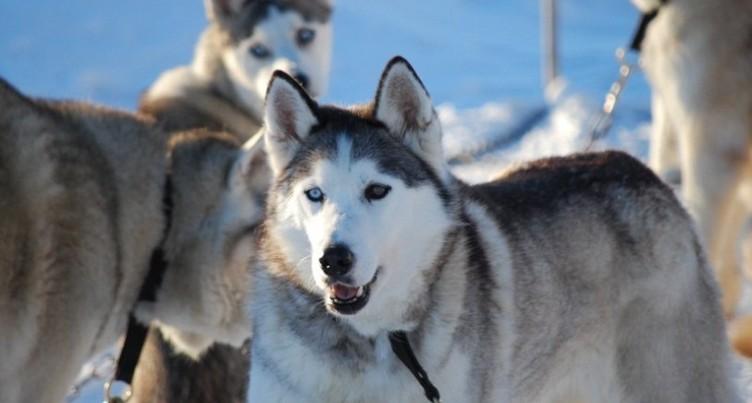 Feu vert pour les courses de chiens de traîneaux à Saignelégier