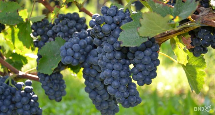 Du merlot dans les vignobles neuchâtelois à cause du changement climatique ?