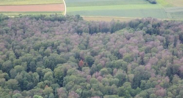 Les hêtres du Jura bernois ont moins souffert du chaud