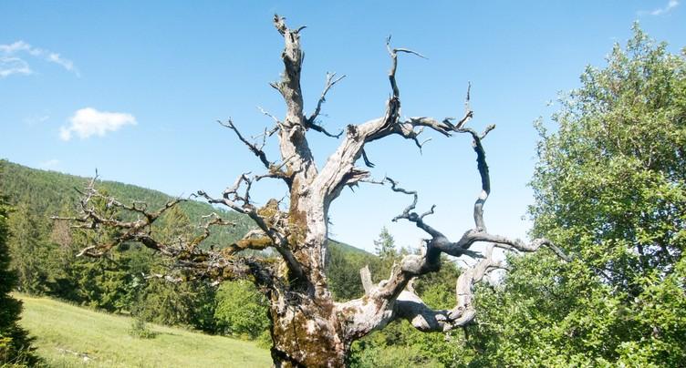 La forêt d'Orvin, paradis pour les coléoptères