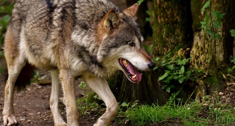 Le loup a tué moins d'animaux de rente en 2019