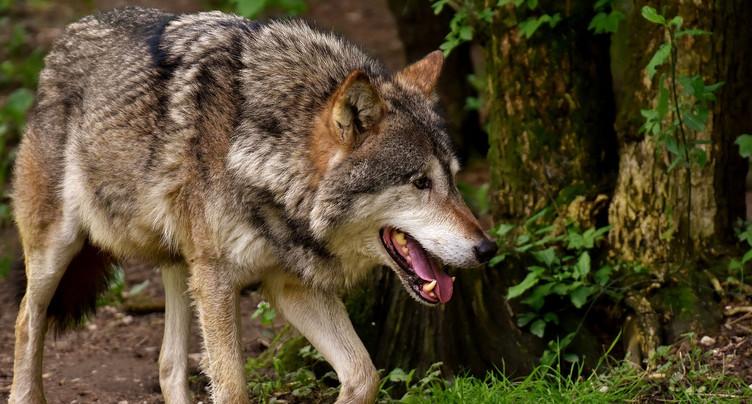 Neuchâtel se prépare à l'arrivée du loup