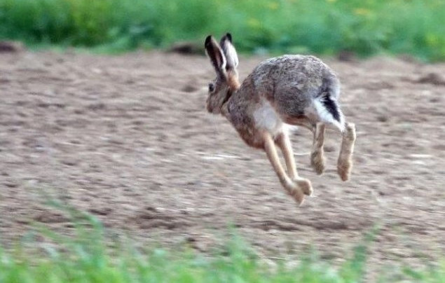 Les effectifs de lièvres bruns sont encore bien insuffisants dans le Jura