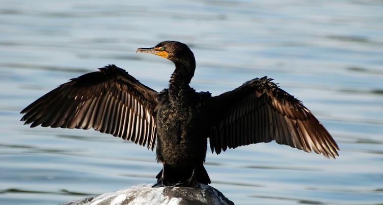 Les pêcheurs neuchâtelois pourront chasser eux-mêmes le cormoran