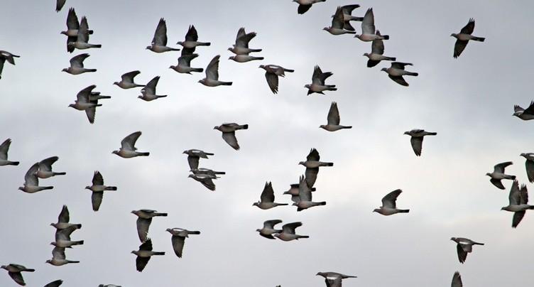 Rapaces et pigeons ramiers font halte dans le Jura
