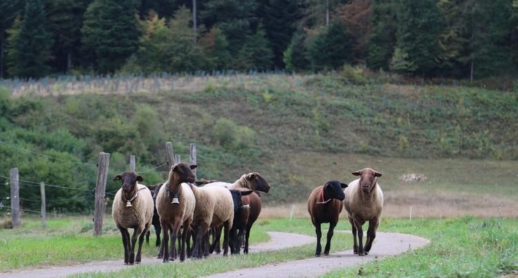 Première grand-messe du mouton brun-noir dans le Jura