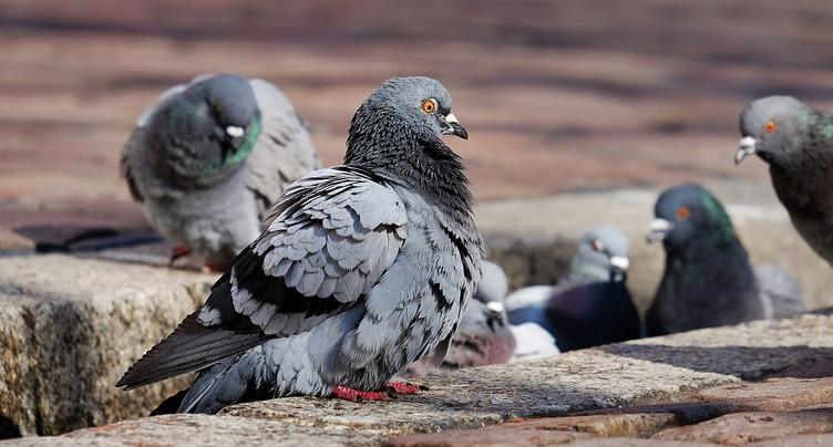 Une maladie affecte les pigeons à Porrentruy