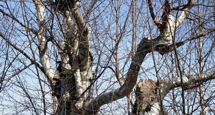 Des arbres majeurs doivent être abattus à Delémont
