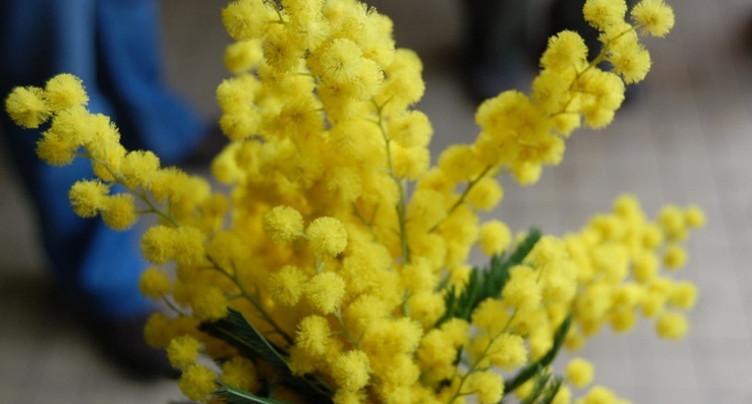 Les ventes de mimosa maintenues dans les chefs-lieux