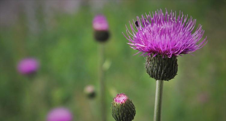 Pas de plan cantonal contre les plantes invasives