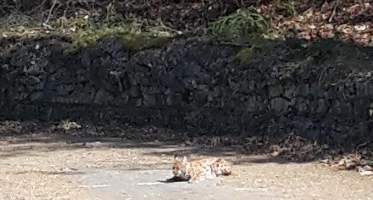 Le lynx aperçu dans le Jura