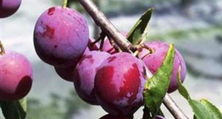 Des mesures exceptionnelles pour sauver la récolte de damassine