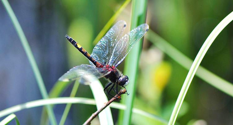 Une nouvelle espèce de libellule à la Grande Cariçaie
