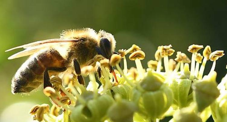 Les apiculteurs s'insurgent contre le retour éventuel d'un insecticide