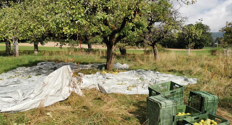 La Bor récolte les fruits abandonnés