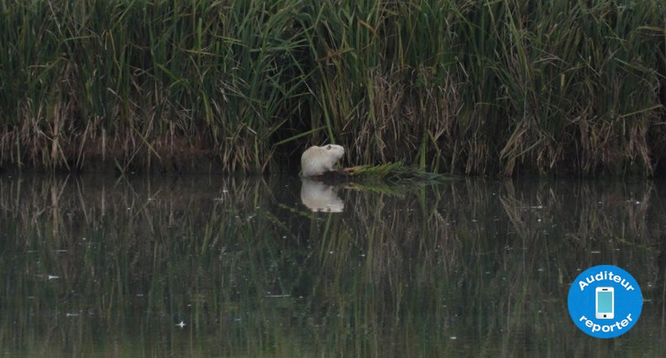 Les ragondins blancs qui se baladent à Damphreux ne sont pas les bienvenus