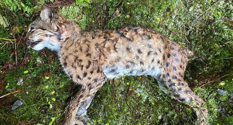 Enquête ouverte après la découverte d'un lynx abattu dans les Franches-Montagnes