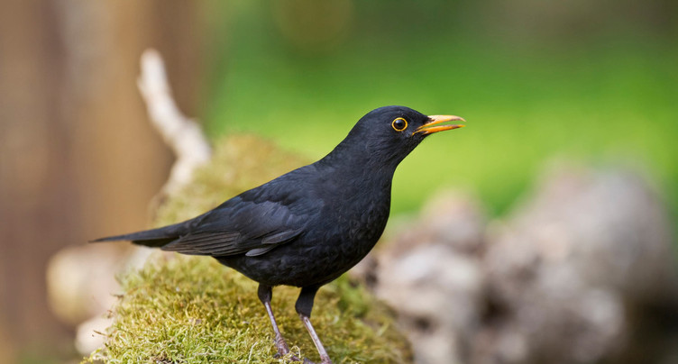 Les oiseaux entament leur prélude musical