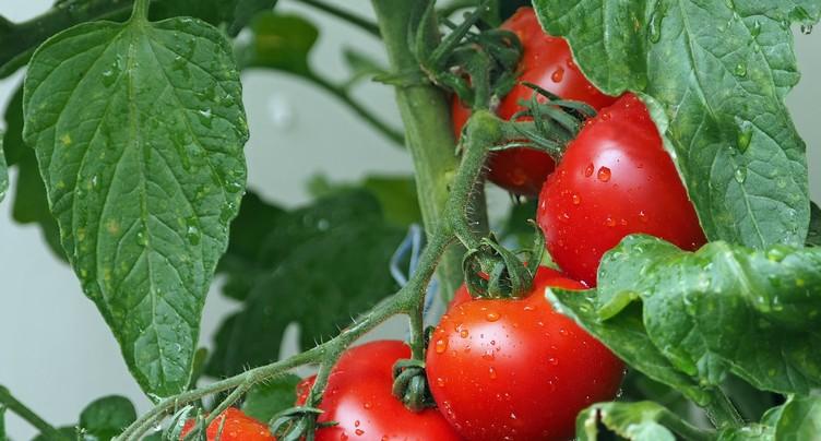 La reine cet été, c'est la tomate !