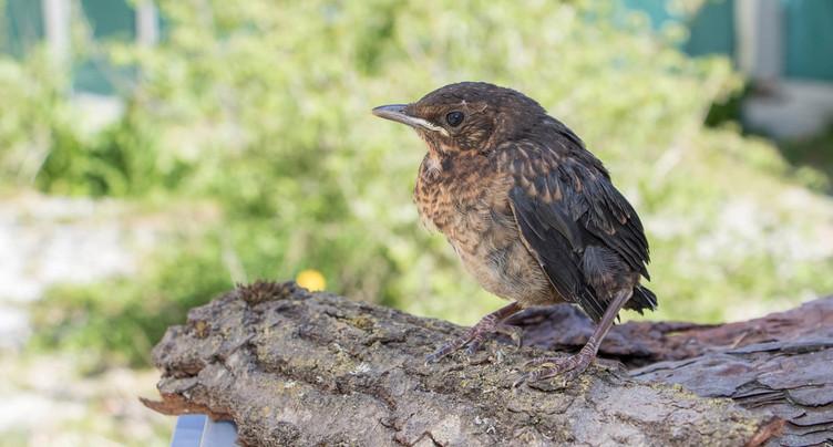 Tombés du nid, mais pas en danger