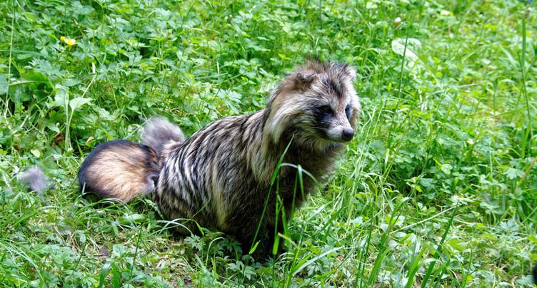 Le chien viverrin aperçu dans le Jura