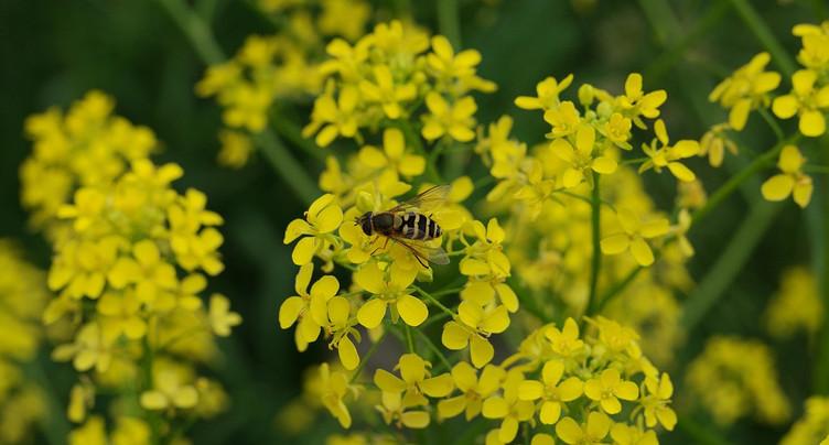 Un plan d'action cantonal pour lutter contre les plantes invasives