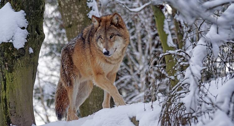 Jean-Marc Landry : « Si le loup se forme en meute, il peut y avoir des attaques sur les bovins »