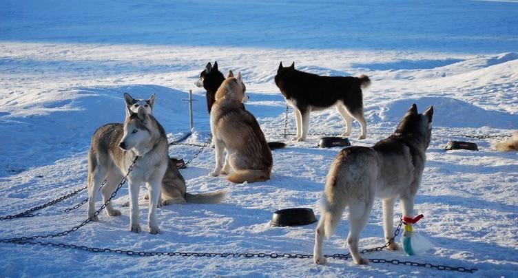 Les courses de chiens de traîneaux annulées à Saignelégier