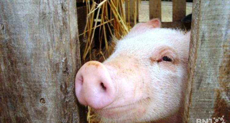 Une exposition «d'objets cochons»