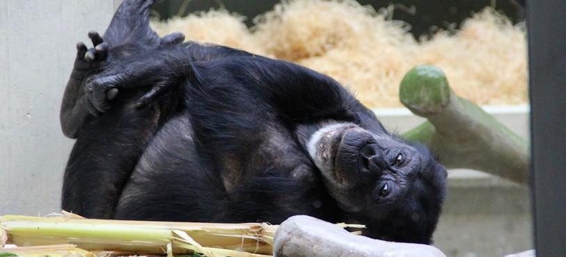 Moment de repos pour ce gorille du zoo de Bâle