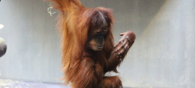 Orang-outang au zoo de Bâle