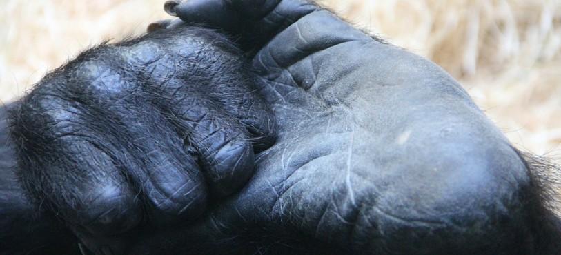 Gorille au zoo de Bâle