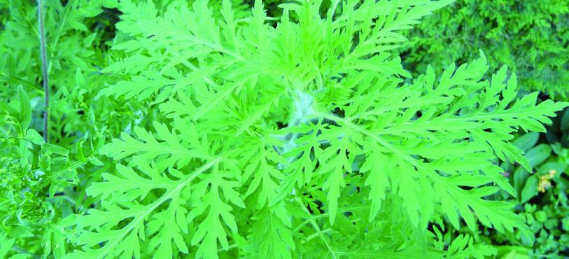 Le pôle de recherche s'est aussi penché sur les plantes envahissantes. Ici: l'ambroisie.