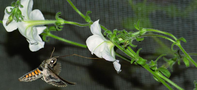 Les chercheurs du pôle se sont également intéressés à la pollinisation du pétunia. Photo : Alexandre dell'Olivo