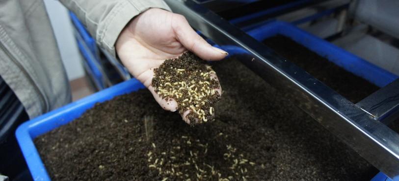 Les larves dans leur substrat en Chine