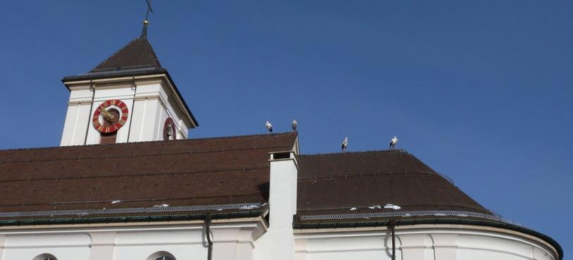 Quatre cigognes se séchaient les plumes mardi matin sur le toit de l'Eglise de Saignelégier