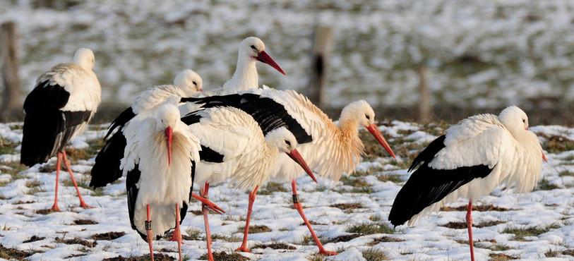 Des cigognes à Saignelégier (photo : Stéphane Theytaz)