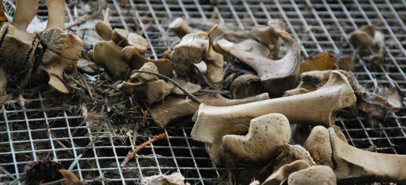 Les vers ont mangé toute la chair des bêtes.