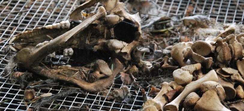 Les nématodes ont lavé les os de toute la chair.