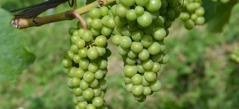 La vigne neuchâteloise se porte bien dans son ensemble.