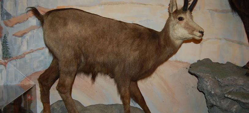 Un des chamois empaillés du Musée de la Banderette.
