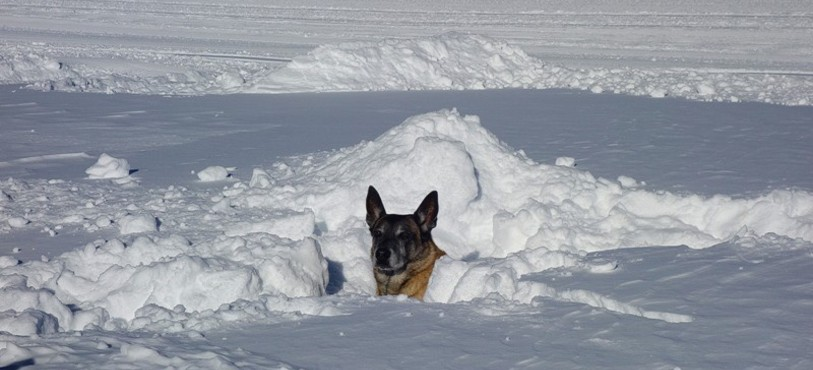 Chiens d'avalanche