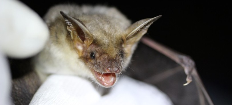 Grand Murin Myotis - Photo : Maël Theubet