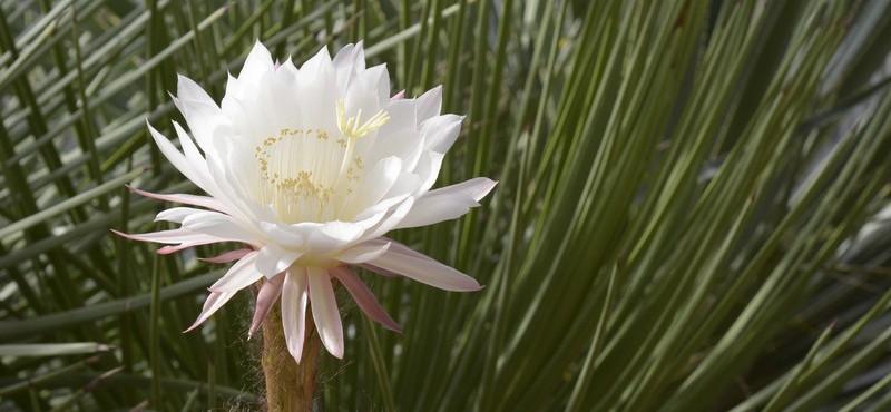 Jardin botanique porrentruy, cactus en fleurs