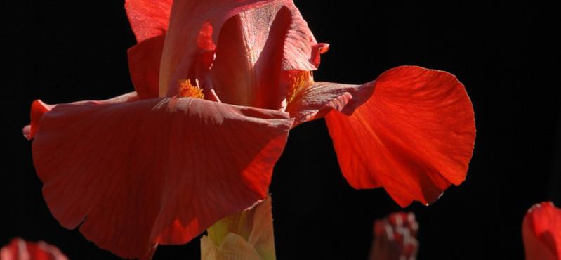 Jardin botanique porrentruy, iris en fleurs
