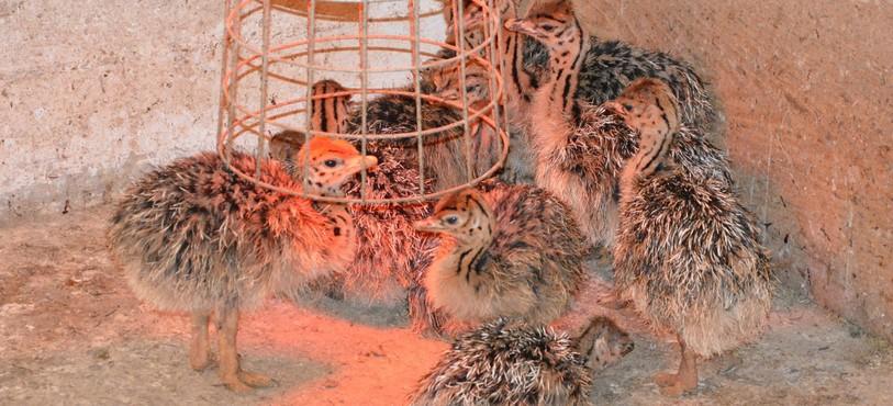 Les autruchons du Parc Aventures Autruches à Lajoux