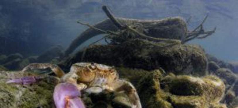 Crabe d'eau douce dans un bras de rivière en Italie.