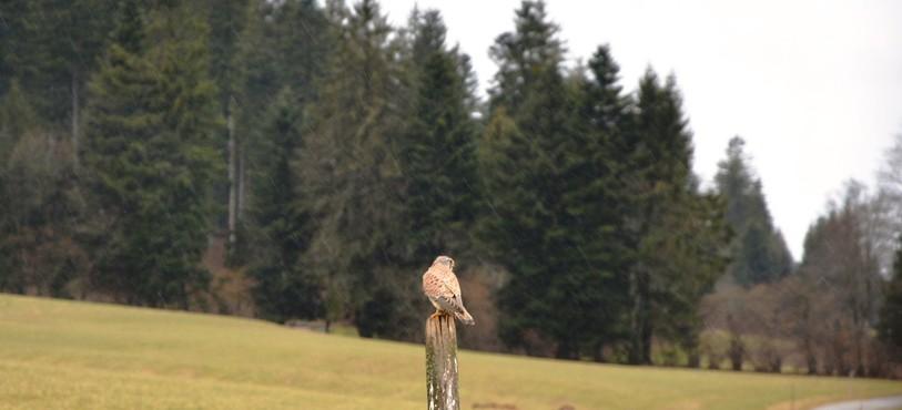 Le faucon crécerelle d'un peu plus près